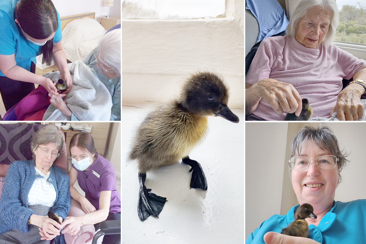 Loose Valley Care Home welcomes four baby ducklings